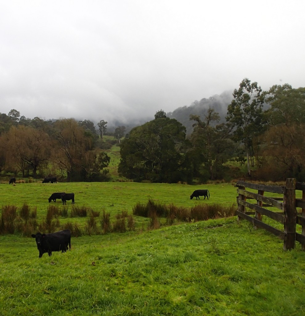 Cattle on the way to the Dargo High Plains